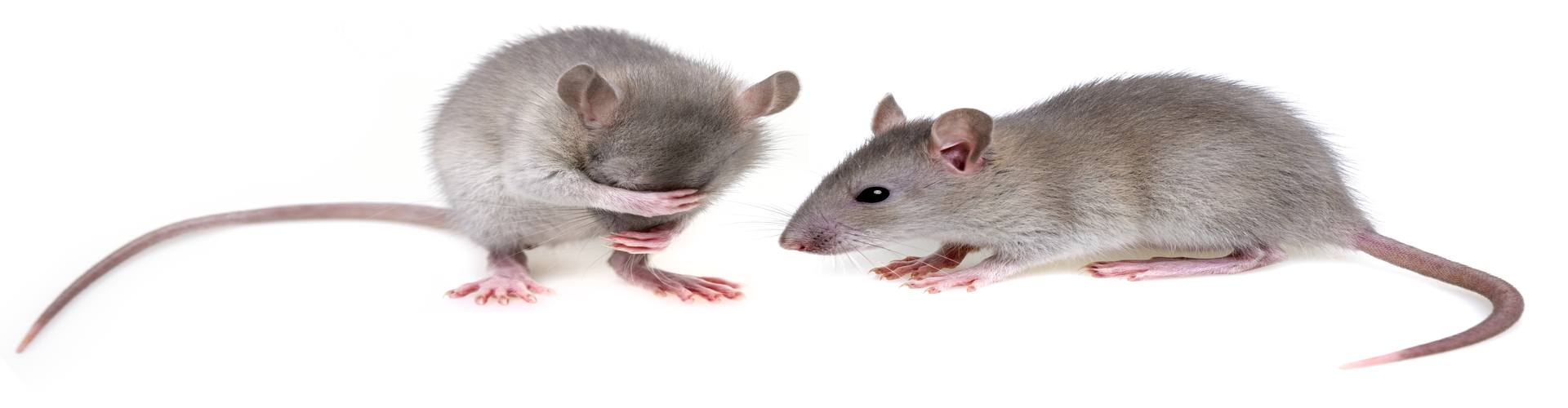 Fumigating Your Home with Mouse Urine Odor Removal Solutions